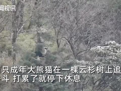 两只大熊猫为求偶在树上展开激烈肉搏 整个过程持续3小时