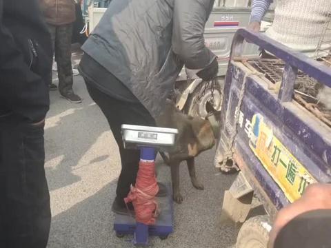 """""""格子哥""""夹狗技术还不减当年,对付30斤土狗,铁夹使用毫不费力"""
