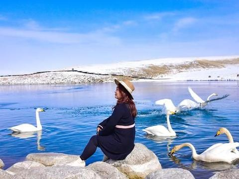 往西伯利亚的天鹅本来飞走了,赛里木湖下了一场雪,天鹅又回来了