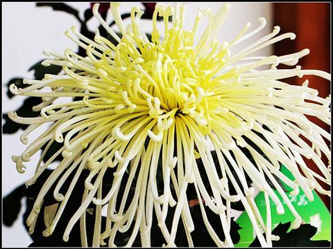 隔壁大爷养了三十几年花,头一次见菊花在春天开,惊呆了!