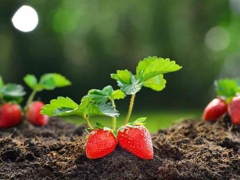 如何辨别激素草莓?学习这五个小窍门,以后买草莓不怕被坑了