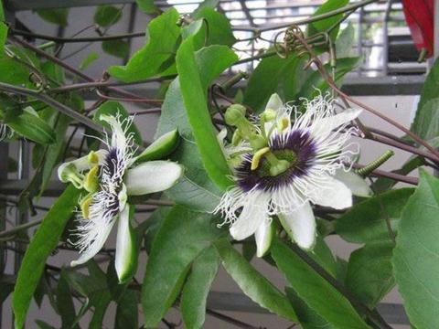 5种花很好养,耐热耐晒更耐旱,阳台开花变温馨小花园