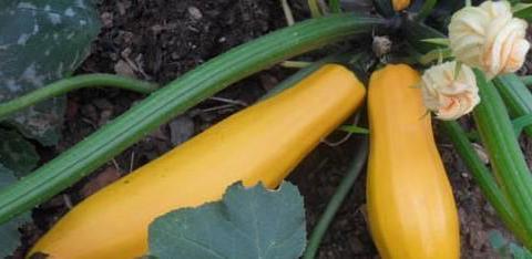 """被称为""""地香蕉""""的水果比香蕉珍贵得多,营养丰富改善体质"""