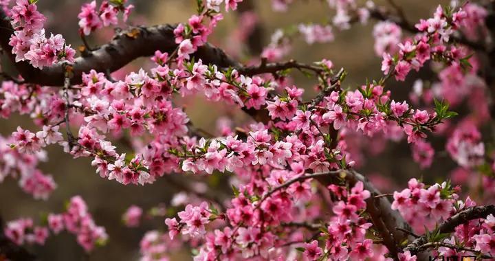 高清组图|保定市满城区:桃花朵朵开 幸福生活来