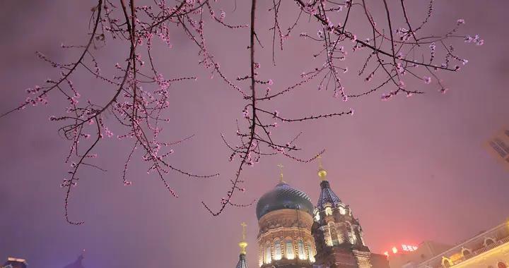 哈尔滨:索菲亚教堂桃花迎雪怒放 如梦似幻