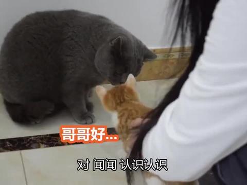 我家萌宠成精了大猫第一次见小橘猫,就怒吼它,太凶了!