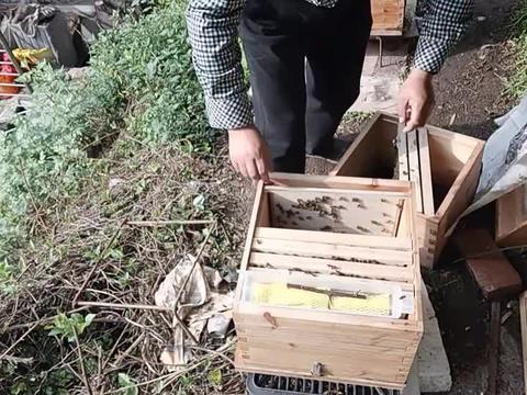 工产蜂群搬走后,采用国宝箱继箱合并法,来看看合并效果怎么样?