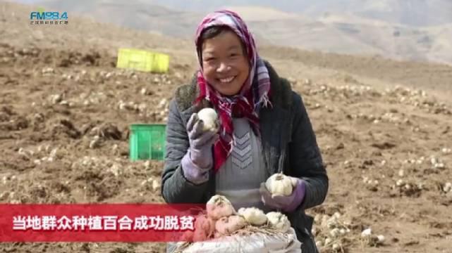 外交部网站点赞甘肃临洮,当地农户种百合脱贫致富