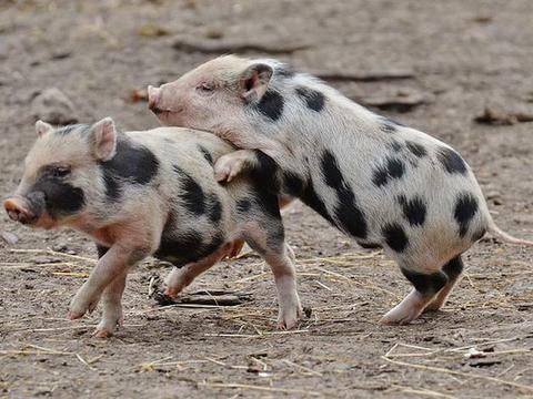 """猪价上涨,仔猪行情回落,""""冰火两重天""""下,现在补栏合适吗?"""
