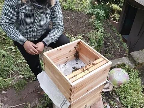 养蜂人采用这方法,将无王群合并到新的蜂群,这方法可靠吗?