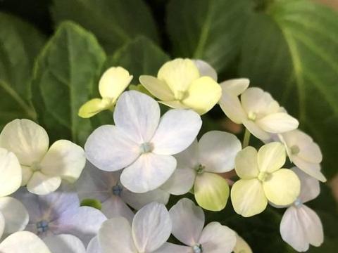春天种花,一定少不了绣球,养绣球用大盆,长得旺,开花多。