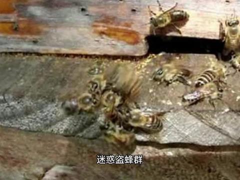 蜂群起盗蜂,处理盗蜂的小技巧,养蜂实用方法