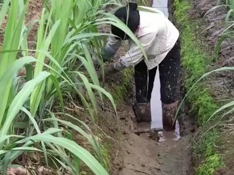 培淤泥有助于甘蔗开根,每天得站在水里干活,挺累的!