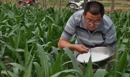 农民给春玉米追肥使用尿素,直接扔在地表,肥料效果咋样?