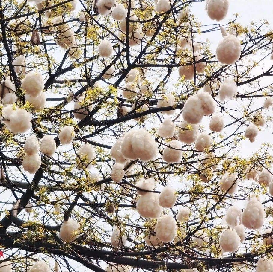"""满树""""棉花糖"""",佛山街头这一奇景,你知道是怎么回事吗?"""