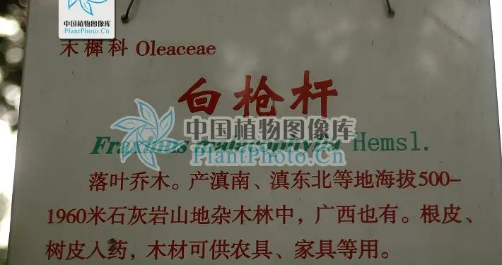 白枪杆,见过吗?清热利尿。用于膀胱炎、膀胱结石、小便不利
