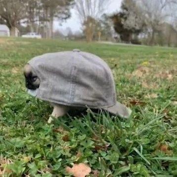 小奶狗带上帽子,变成了小乌龟,也太可爱了
