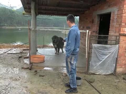 驱狗器对120斤的高加索狗狗发射,会有什么反应?