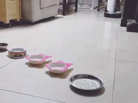 柯基小奶狗:干饭不积极,脑子有问题!