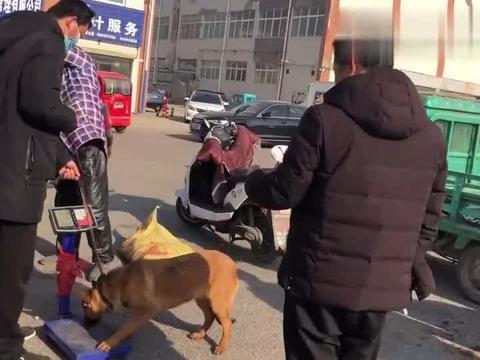 农村狗市:小伙一只马犬600成交,接过 后说:走吧享福去吧