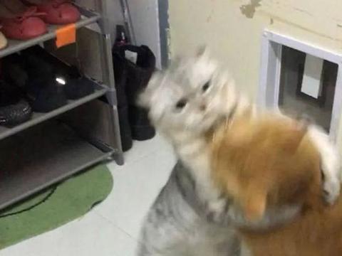 两只猫咪一言不合,竟大打出手决雌雄,背后原因笑哭吃瓜群众