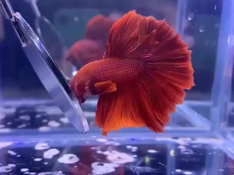 老公花1000元买的小鱼,比照顾我还用心,放在鱼缸里确实很漂亮