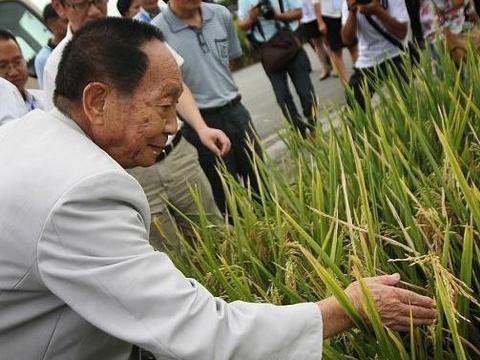 有农民对水稻钻心虫很恼火!有时打药都难治,专家说可用此法早防