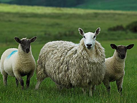 母羊流产是什么原因造成的?母羊流产的原因及症状方案,都在这里
