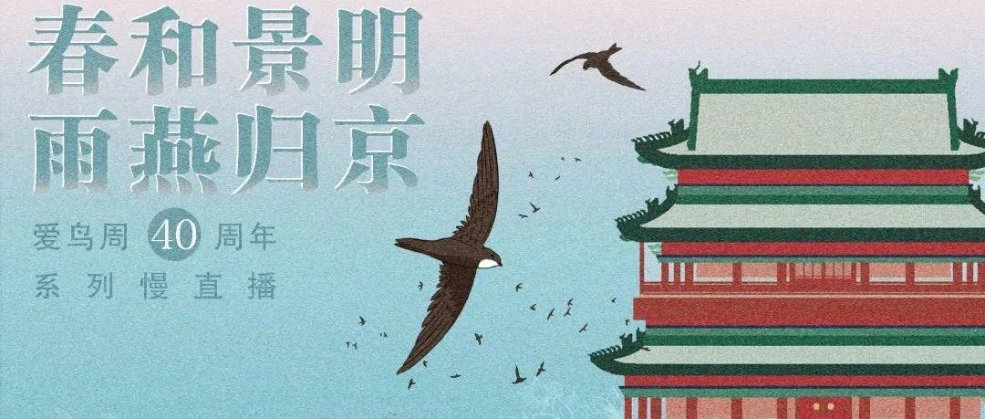 【直播预告】这个春天,一起来看老北京城楼上的小雨燕