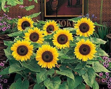 向日葵为什么总朝太阳开?原来都是因为怕光的它!