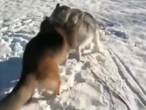 德牧:好吧,我承认,在雪地里你比我厉害!