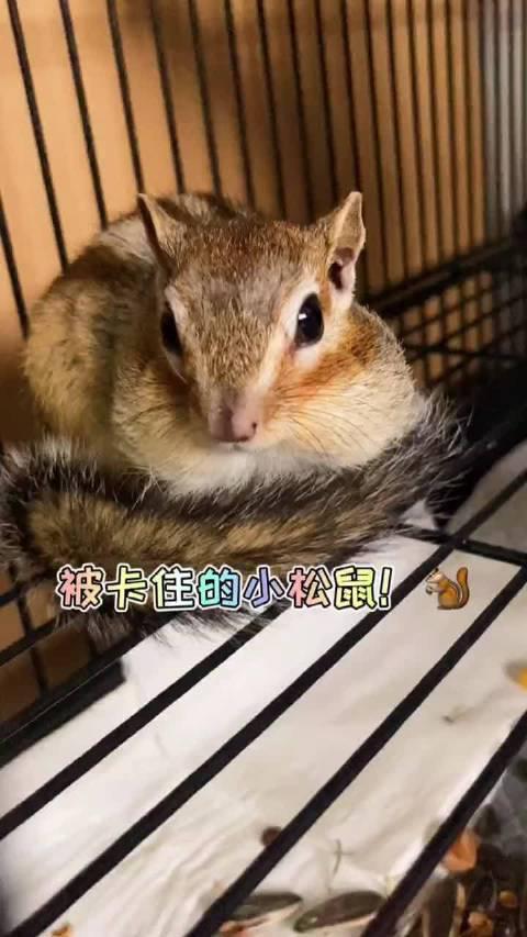 松鼠太胖了是什么体验,人家根本不是胖只是可爱到膨胀