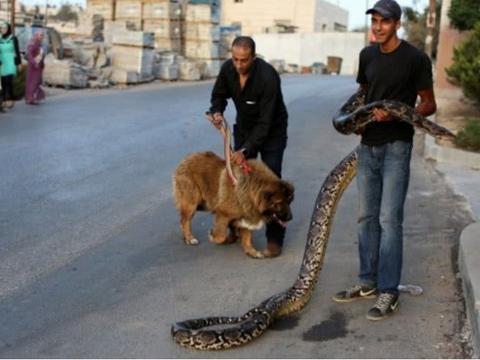 男子带着宠物出门遛弯,引路人驻足围观,却很少有人敢靠近!