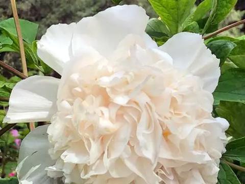 唯有牡丹真国色,这3个品种的牡丹花,有特色!