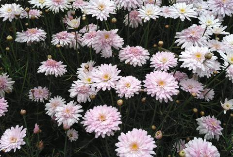 木茼蒿开的花,不仅花色淡雅,而且长相整齐漂亮