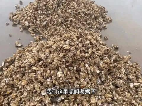 八毛钱一斤的生蚝满大街,渔民丢去喂海鸥