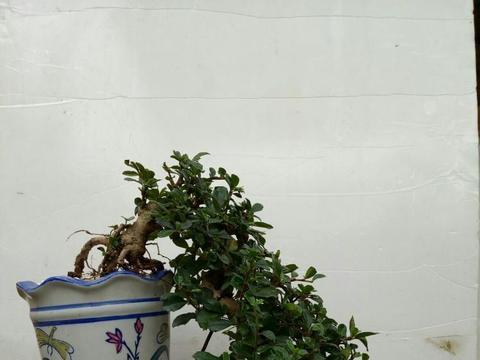 福建茶盆栽生命力旺盛,优良树种栽种管理很简单
