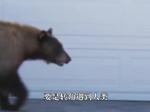 将一只黑熊当做宠物,你会是什么体验饲养员:完全就是黑熊挂件