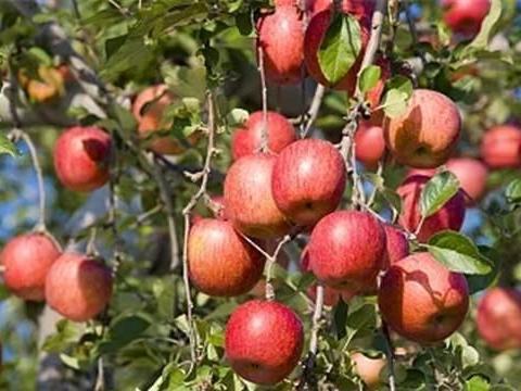 别再光吃蛇果和红富士了,这几种国产苹果,口感好营养棒