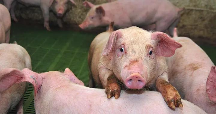 猪链球菌对猪场的危害及预防措施