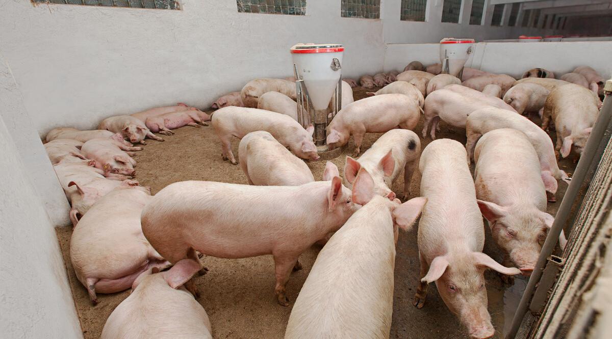 """站长收了""""好处费"""" 4万头""""黑""""猪流入市场"""