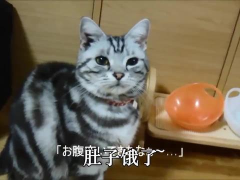 吃饭时间到了主人不给猫粮,猫直接把碗给摔了,就是这么霸气
