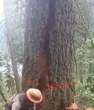 男子在锯一棵大树,并没有发现什么异样,大树突然就倒了