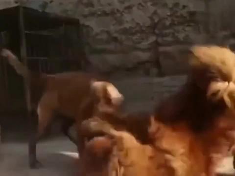 因为一块肉,藏獒和马犬进行了巅峰对决,谁更胜一筹呢