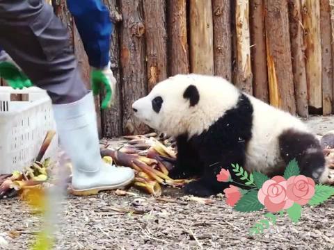 熊猫和花:奶爸,你看看我,难道我不够可爱吗