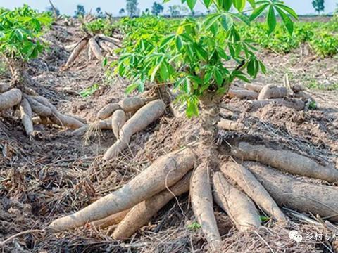 木薯价格虽然便宜,但是投入成本低,种上四五亩都比打工强