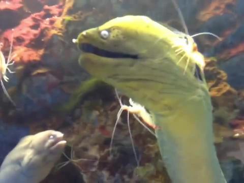 清洁虾在给海鳝嘴口腔清洁,看着凶狠的眼神,总担心出现医疗事故