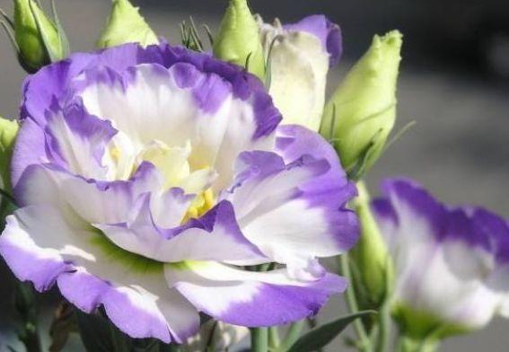家养此款花卉,花姿妖娆,四季繁花似锦