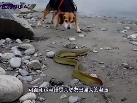 影视:电鳗威力有多大狗狗一口咬住电鳗,直接电到怀疑狗生