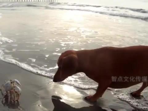 狗狗第一次见螃蟹,被吓得连连后退,甚至开始怀疑狗生